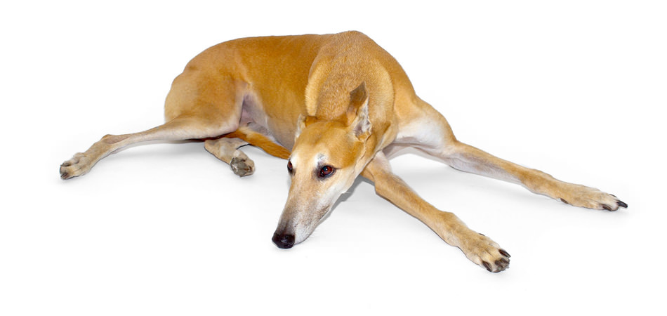 <b>Pet Photography</b><br><small>&quot;Diggety&quot; the Greyhound</small>